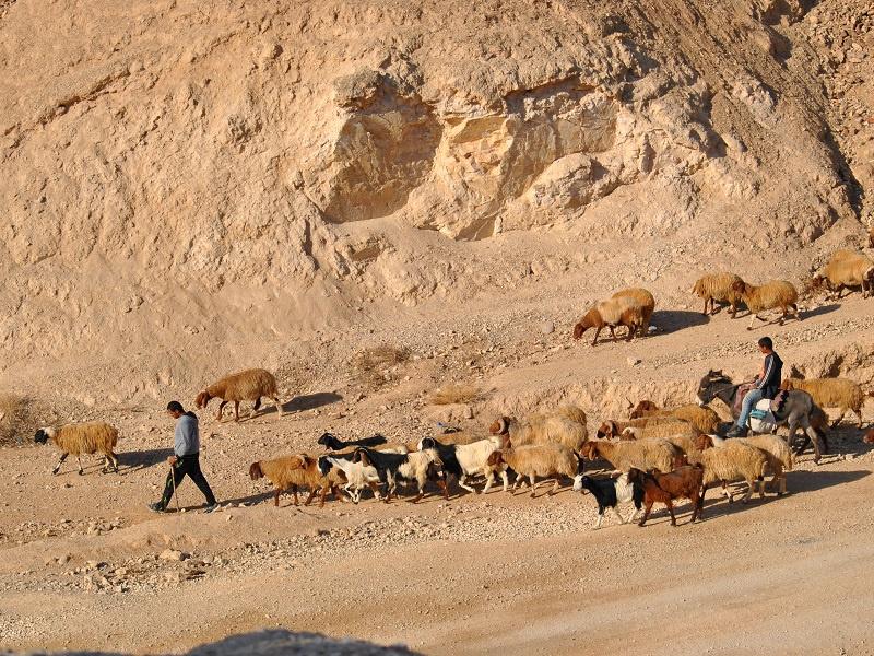 Schafe in der Wüste müssen Vertrauen in den Hirten haben, Foto: Künhaupt