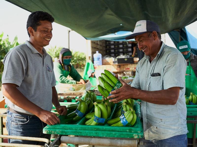 Auf einer Bananenplantage in Peru. Das Einkommen der Mitglieder der Kooperative hat sich durch den Fairen Handel mehr als verdoppelt auf durchschnittlich 450 Euro pro Monat. Foto: Eddy Juan Atoche Sil