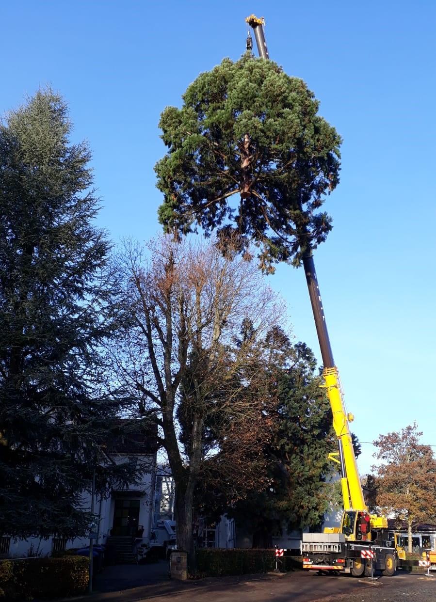 Der Mammutbaum am Lutherhaus wurde gefällt